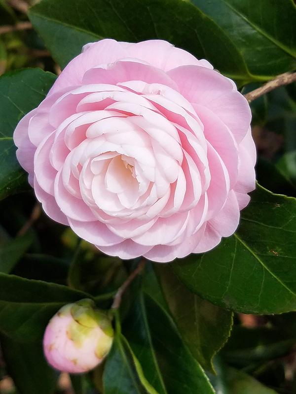 Camellia season in Montgomery.