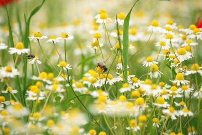 Chamomile blooms in May.